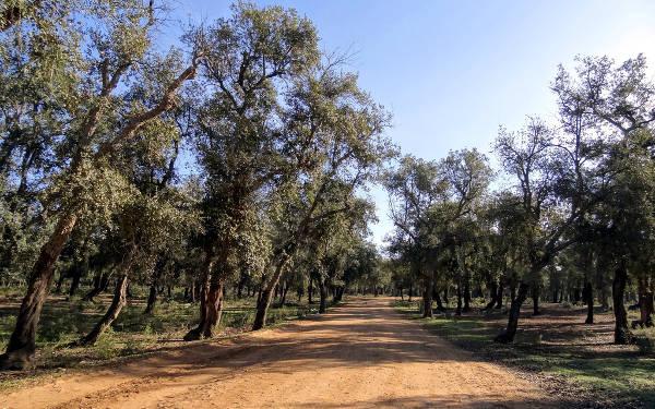 La foresta di Mamora in Marocco.