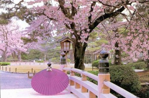 Giappone in primavera, ciliegi in fiore