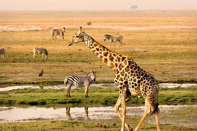 Safari nella riserva Masai Mara in Kenya.
