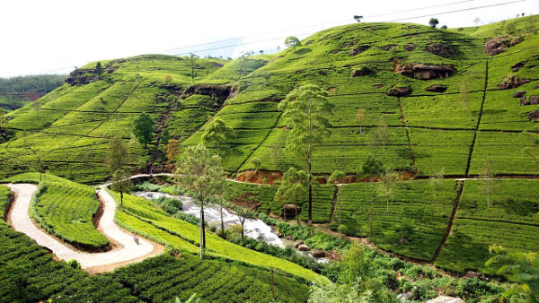 I campi di tè a Nuwara Eliya in Sri Lanka.