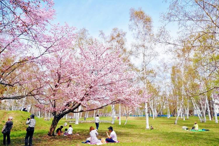 La primavera in Giappone con gli alberi di ciliegio in fiore.